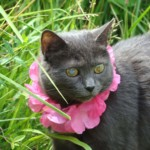 "Hannah was the sweetest kitty ever! In May of 1999, my dog, Pupcake, whom I had grown up with, found her and she followed him home to live with us. I asked around about her and it became clear she had been dropped off. I noticed she had some kind of blue scar or possible injury on her right eye and she was a bit timid around us. The only one she really seemed to like and trust was Pupcake! The first night with us she wandered off and we looked all over for her. I wanted her to stay around because I had just lost a kitty Patty eight months earlier and Pupcake and I had been very sad. I had already been thinking up names for this new kitty and the thought of a new friend for Pupcake and me was exciting. The next night my mom came into my room and said that the kitty came back! We brought her safely inside. I was so glad to see her and began deciding on a name. I almost named her Molly but then I came across the name Hannah in a book I had. I thought Hannah was the sweetest name I'd ever heard and it seemed to suit her! Unfortunately Pupcake got sick and passed away only four months after he found Hannah. He died while traveling with us and when we brought him home deceased, Hannah immediately jumped into the van, walked over to him as if to say goodbye. From that moment on, she wouldn't leave my side! It was as if she knew how much I was hurting. I was in so much pain that I thought I'm not going to let myself get attached ever again. But Hannah continued to stay with me and although I didn't know it yet, my entire heart already belonged to her. While we had been traveling with Pupcake, Hannah had also had a litter of kittens! They were so cute and also brought a lot of comfort but not as much as Hannah did! Hannah has always been here for me—faithfully by my side through every loss most importantly through losing my mom. We grieved each loss together and did things like go on walks and hop around to silly music to cheer each other up. Hannah also had a cute and unique way of wiggling her tail and hips that looked like a hula dance. So I nicknamed her ""Hula Hannah""! After almost twenty one years with Hannah, I don't know who I am without her nor how to move on. I know I can get another kitty or dog, but I am certain I'll never find another that I feel such a deep connection with. We were so close that my mom used to say that she thought we acted and looked alike! There were times mom would accidentally call me Hannah instead of my name, Tina. Then I'd joke that Hannah and Tina make good twin names and that maybe we were twins in another life! I dreamed about Pupcake a few nights ago, and he was wagging his tail and looking at me with the most happiest look on his face. Although I didn't see Hannah in my dream, I felt her presence there with him. He was the first soul she had trusted all those years ago and I feel my dream was his way of saying he's going to take care of her now! I'll always believe he found her for me! All the love goes on forever!"